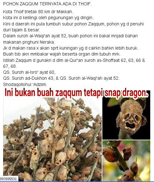 buah pohon-zaqqum snap dragon